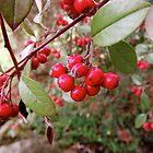 Berries by stelhope