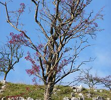 Clapham Lone Tree by Paul Swift