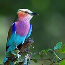 Delta Lilac Breasted Roller by jozi1