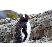 Penguin Chick Photographic Print