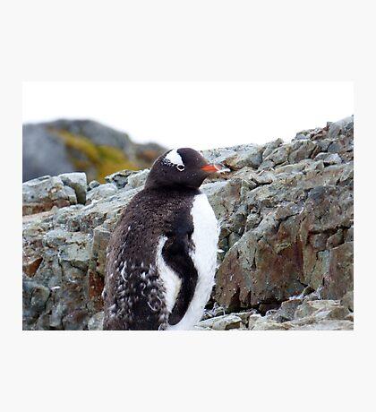 Penguin Chick Photographic Print