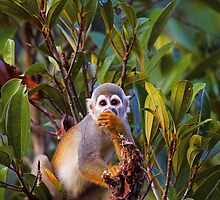 Ecuadorian Squirrel Monkey by Sylwester Zacheja