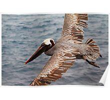 Galapagos Brown Pelican Poster