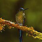 Hummingbird  by Sylwester Zacheja
