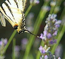 Papillon on lavanda flower by gluca