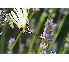 Papillon on lavanda flower Photographic Print