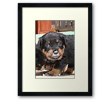 Messy Rottweiler Puppy With Food Covering Nose Framed Print