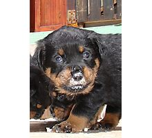 Messy Rottweiler Puppy With Food Covering Nose Photographic Print