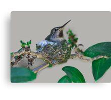 Mama Hummingbird Nesting Canvas Print