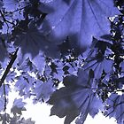 Blue Maple by eelnej