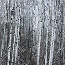 Poplars III by RobertCharles
