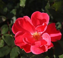 Knockout Roses - Still Blooming! by Linda  Makiej