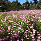 Everlastings at King's Park by simonescott
