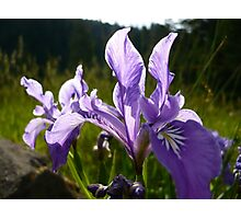 Summer Irises Photographic Print