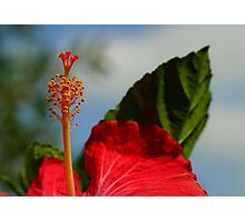 Close Up of Red Hibiscus Stamen and Pollen Photographic Print