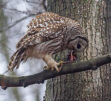Barred Owl with Starling by Bill McMullen