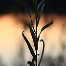 Leafy Sunset by Adam Kuehl