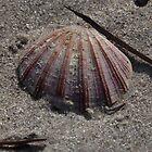 Sandy Fan Shell by Stuart Daddow Photography