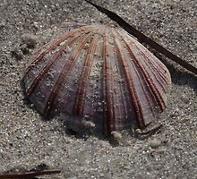Sandy Fan Shell by Stuart Daddow Photography