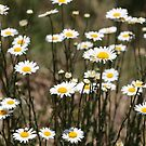 Wild Daisies by Kitsmumma