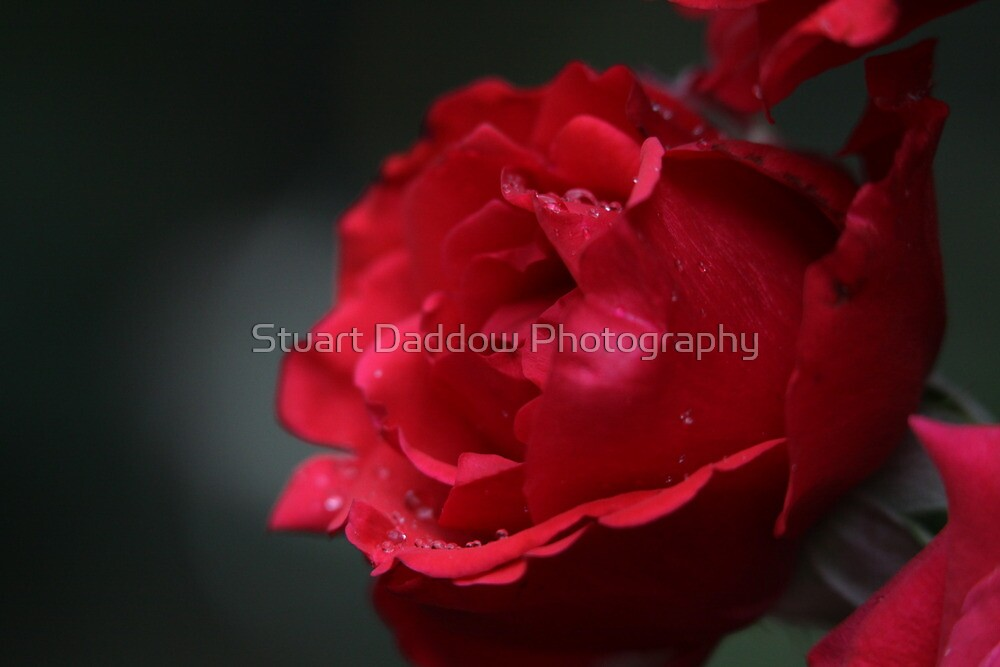Tranquil Rose During a Wild Thunderstorm by Stuart Daddow Photography