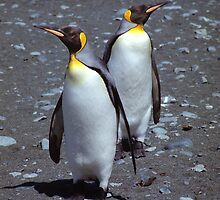 Stand-off!! King Penguins, Macquarie Island by Carole-Anne