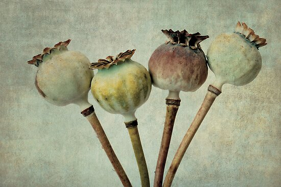 Poppy pods by Anne Staub