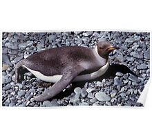 Juvenile King Penguin Sun Bathing Poster