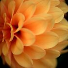Orange Dahlia by Paul Ridley