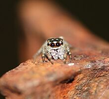 Little jumping spider by cathywillett