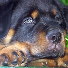 Photographic Portrait Of A Young Male Rottweiler by taiche