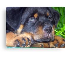 Photographic Portrait Of A Young Male Rottweiler Canvas Print
