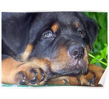 Photographic Portrait Of A Young Male Rottweiler Poster