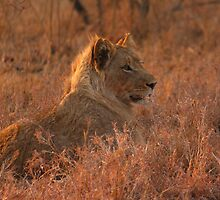 Lion cub by PBreedveld