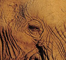 Elephant eye by PBreedveld