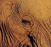 Elephant eye by PBreedveld
