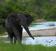 Elephant chasing birds by PBreedveld