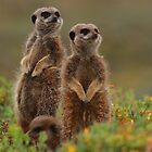 Meerkats by Cameron B