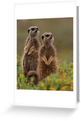 Meerkats by Cameron B