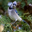 The Blue Poser by Janika
