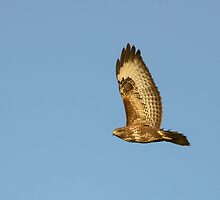 Buzzard, Bannow Island, County Wexford, Ireland by Andrew Jones