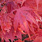 Maple leaves by Woodie