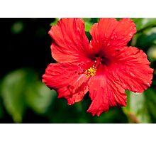 Stunning Bright Red Hibiscus Photographic Print