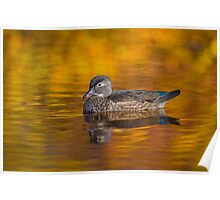 Fall Wood Duck Poster
