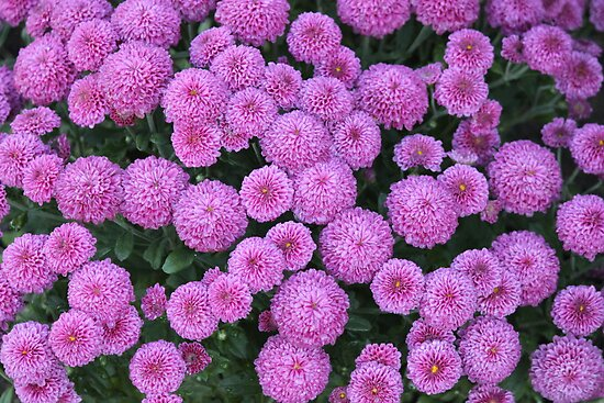 Mums the Flower! by Rose Landry