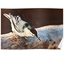 White-breasted Nuthatch Poster