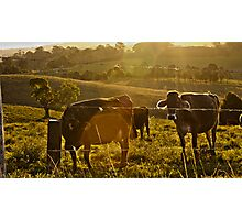 Cow Fields at Sunset Photographic Print