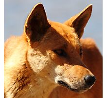 """""""Dingo"""" Photographic Print"""