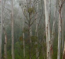 misty gum trees by Martin  Hoffmann