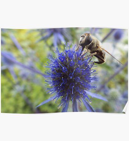 Solitary Bee feeding on Sea Holly nectar Poster